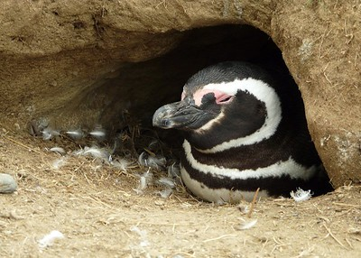 Penguin in brood cave