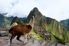 Llama guard, Machu Picchu, Peru