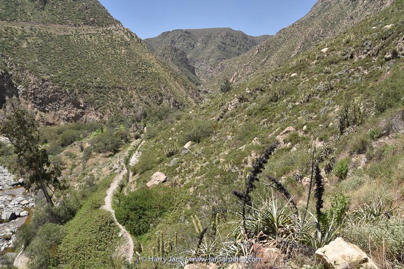 Puya cylindrica in valley near Sogay
