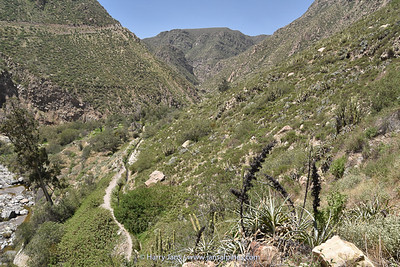 Puya cylindrica in valley near Sogay