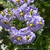 Solanum paposanum