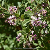 Aloysia spathulata