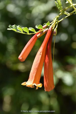 Tecoma fulva ssp. arequipensis