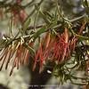 Ligaria cuneifolia
