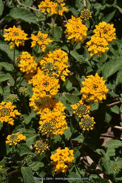 Lantana scabiosiflora