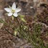 Spergularia fasciculata