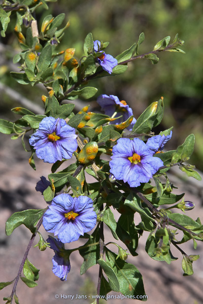 Lycianthes lycioides