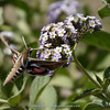 Hummingbird Moth & Heliotropium arborescens