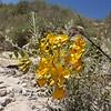 Senna birostris ssp. arequipensis
