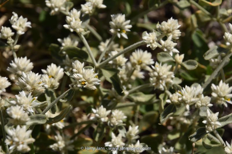 Alternanthera halimifolia