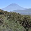 Austrocylindropuntia subulata (El Misti,  5822m)