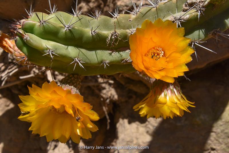 Corryocactus aureus