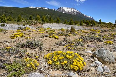 habitat Oreopolus glacialis
