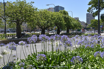 Agapanthus on main street in Buenos Aires