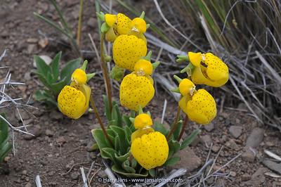 Calceolaria lanceolata