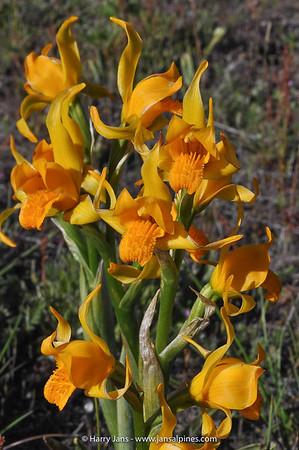 Chloraea alpina
