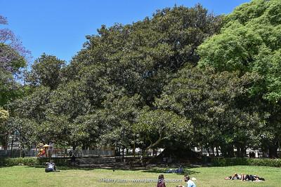 "Ficus macrophylla, El ""Gran Gomero"" at Plaza San Martin (over 200-years old)"