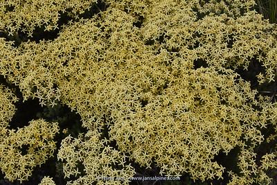 Junellia aff. tridactylites