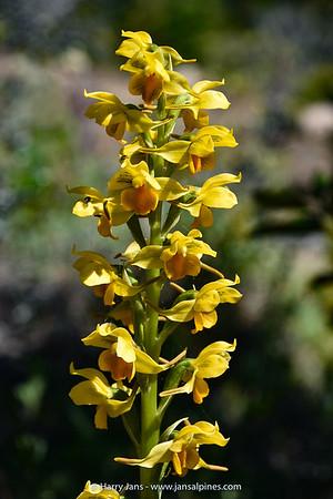 Gavilea odoratissima