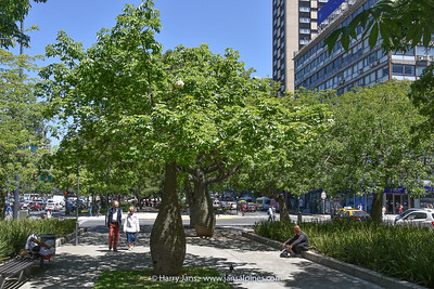 Ceiba speciosa (silk floss tree)
