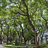 Tipuana tipu, a beautiful tree in the city of Buenos Aires