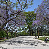 street in Buenos Aires with Jacaranda mimosifolia