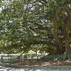 "Ficus macrophylla, El ""Gran Gomero"" at Plaza San Martin (over 200-years old)"