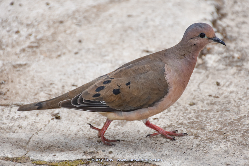 Ecuadorian ground dove (Columbina buckleyi)