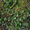 Elaphoglossum piloselloides