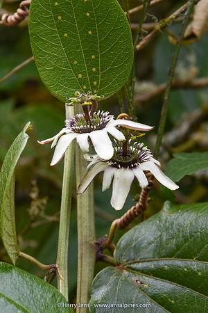 Passiflora cf. pittieri