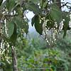 Tournefortia fuliginosa