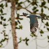 Ringed Kingfisher in flight