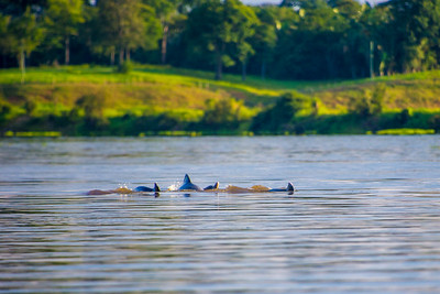 Gray Dolphins
