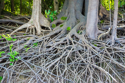 Mangrove-like root system exposed after the river bank erodes.