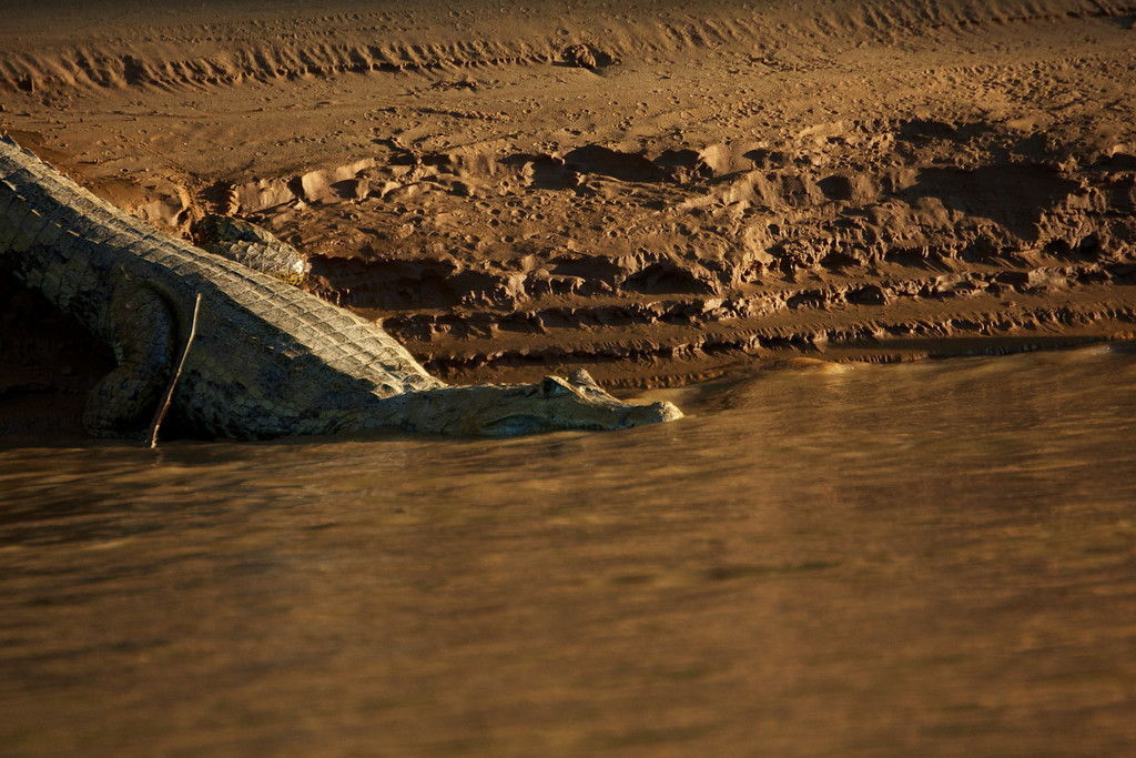 White Caiman on the Heath River bordering Peru and Bolivia<br /> Copyright 2012, Tom Farmer