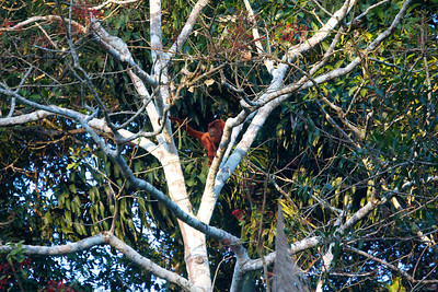 Howler monkey, Heath River, Bolivia Copyright 2012, Tom Farmer
