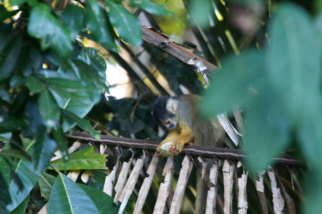 Squirrel monkey in Amazon Basin<br /> Copyright 2012, Tom Farmer