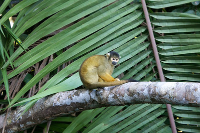 Squirrel monkey in Amazon Basin Copyright 2012, Tom Farmer