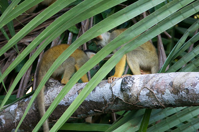 Squirrel monkeys in Amazon Basin Copyright 2012, Tom Farmer
