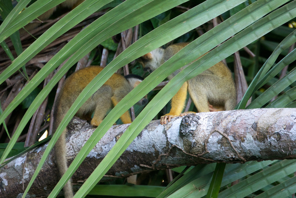 Squirrel monkeys in Amazon Basin<br /> Copyright 2012, Tom Farmer