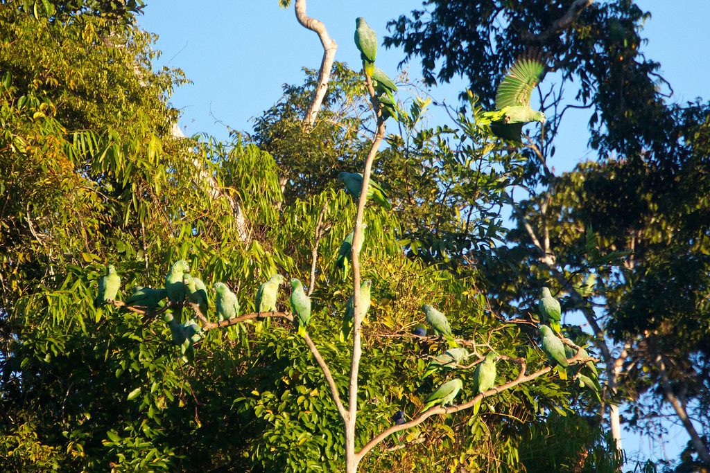 Parrots near a clay lick on the Heath River<br /> Copyright 2012, Tom Farmer