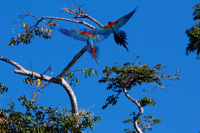 Macaws in the Amazon Basin Copyright 2012, Tom Farmer