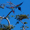 Macaws in the Amazon Basin<br /> Copyright 2012, Tom Farmer