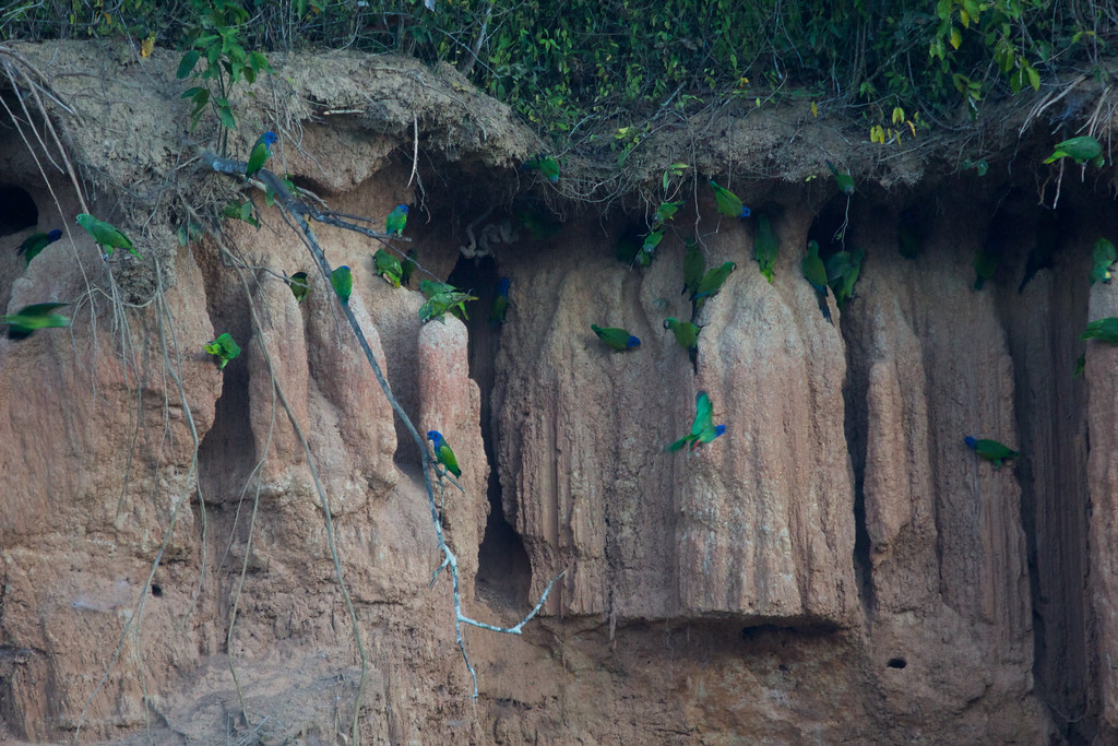 Parrots at a clay lick on the Heath River<br /> Copyright 2012, Tom Farmer