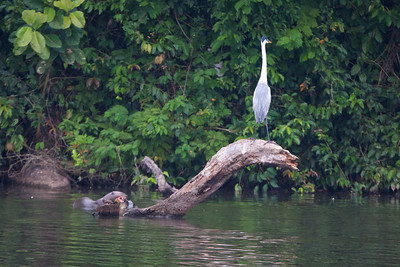 Otter and Cocoi Heron on Sandoval Lake, Peru Copyright 2012, Tom Farmer