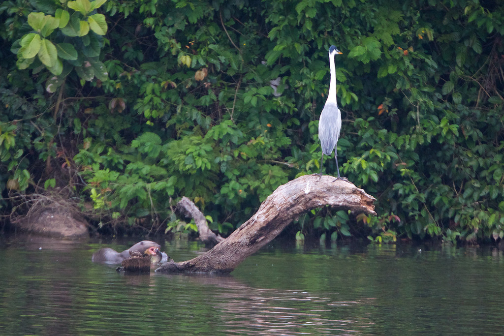 Otter and Cocoi Heron on Sandoval Lake, Peru<br /> Copyright 2012, Tom Farmer