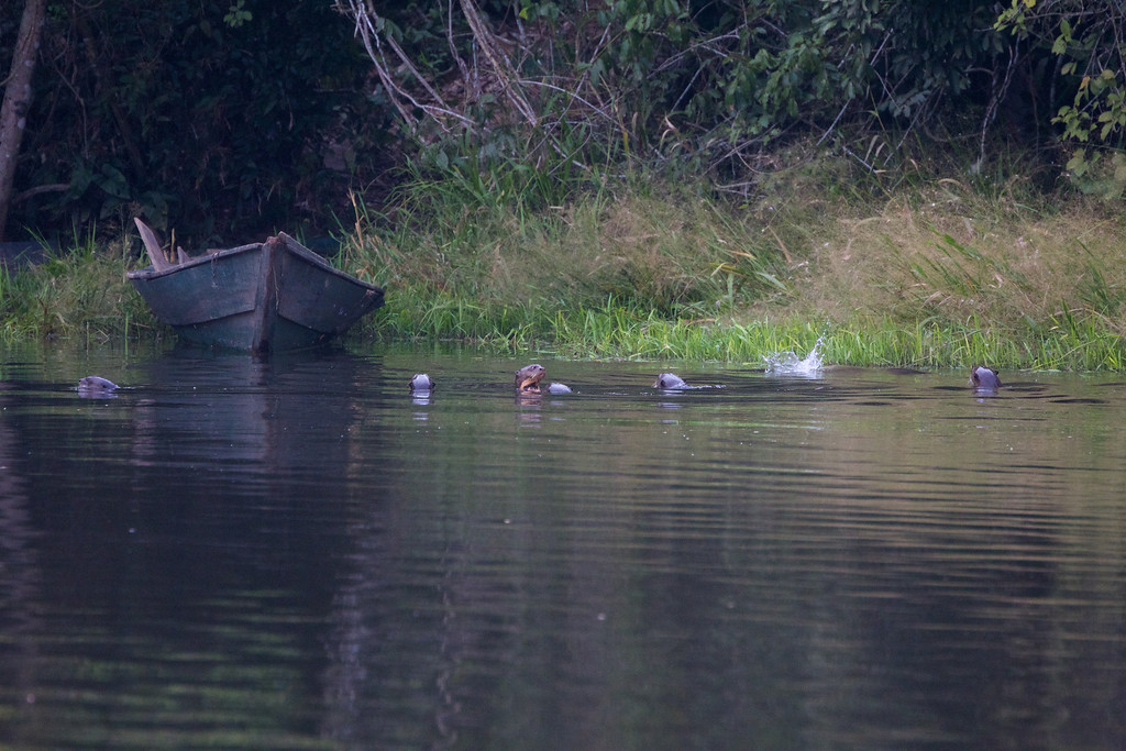 The group of seven otters living in Sandoval Lake, Peru<br /> Copyright 2012, Tom Farmer