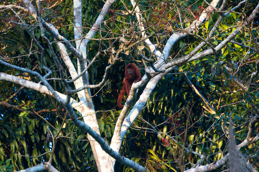 Howler monkey, Heath River, Bolivia<br /> Copyright 2012, Tom Farmer