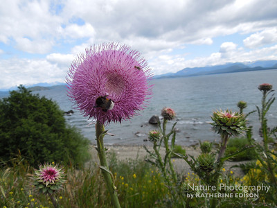 Thistles on the shore of Lago Nahuel Huapi. Bariloche, Argentina. 2012.