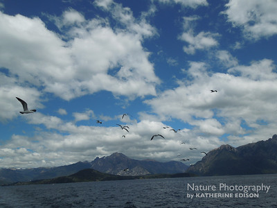 Gulls following the boat. Lago Nahuel Huapi, Near Bariloche, Argentina. 2012.